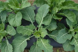 collards_resized